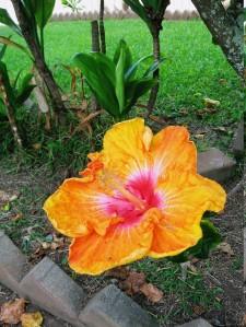 Molokai Blossom