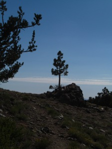 Lone Jeffry Pine