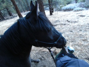 Hokuleia biting my stirrup . . .