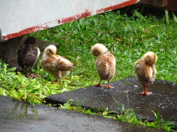 chicks preening