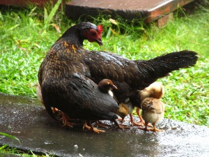 Hen and chicks in rain
