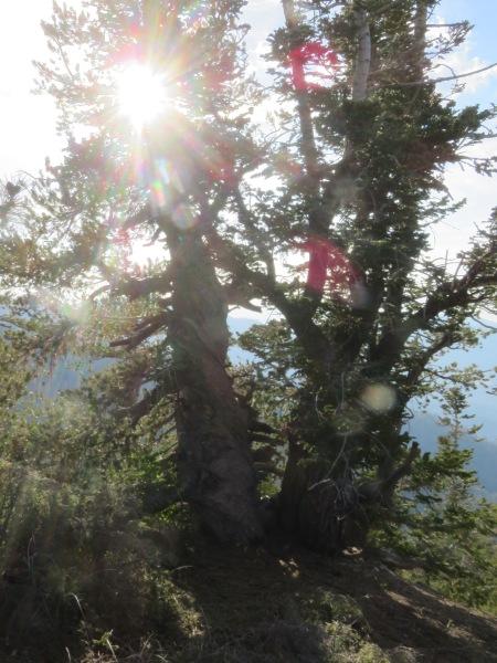 Anna's Tree, Pinos