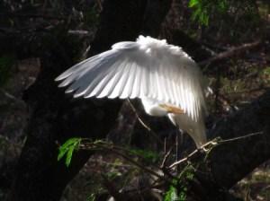 Molokai Egret preening
