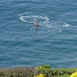 Skyhopping Gray Whale