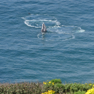 Skyhopping Gray Whale